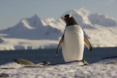 Avistaje de pingüino Papúa