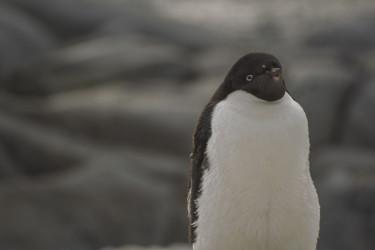 Avistaje de pingüino Adelia